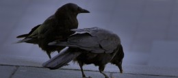 Crows_lessons_business_nlp_nature_growth_teamwork_excellence